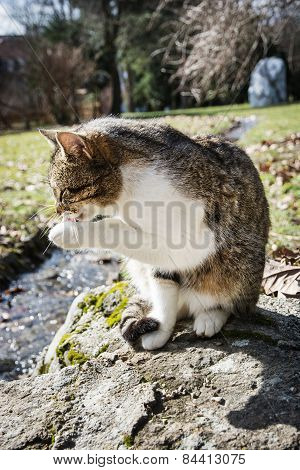 Domestic Cat Licking Paw