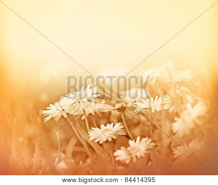 Flowers daisy - Daisy in a meadow