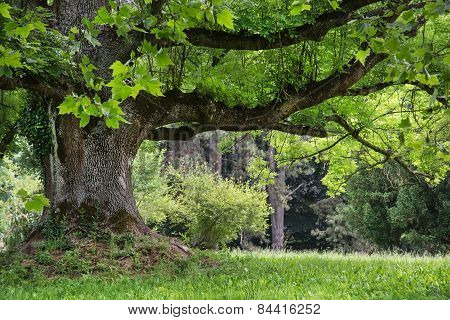 Massive Maple Tree In The Park