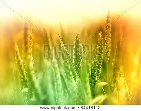 Unripe wheat field early in morning