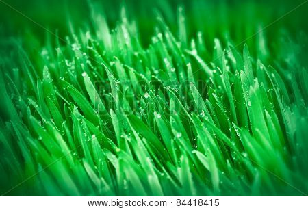 Spring grass - young green wheat