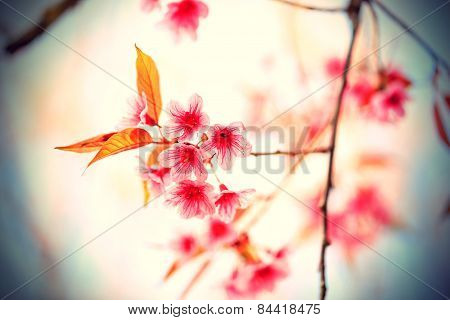 Beautiful Pink Cherry Blossom (sakura) Flower At Full Bloom In Vintage Style