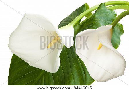 Pair Of White Flowers