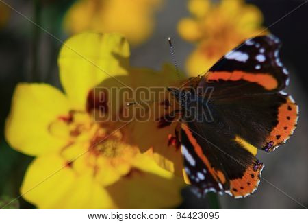 Hunting For A Butterfly Over A Bed Of Marigolds