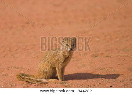 Yellow Mongoose 4