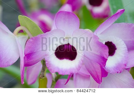Nobile Orchid