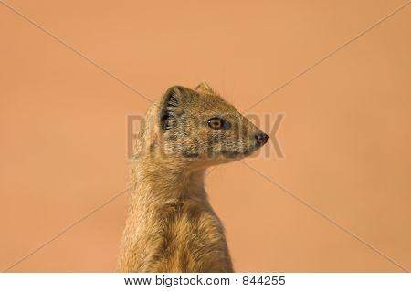Yellow Mongoose 1