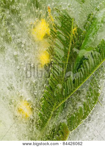 Yellow Mimosa In The Ice