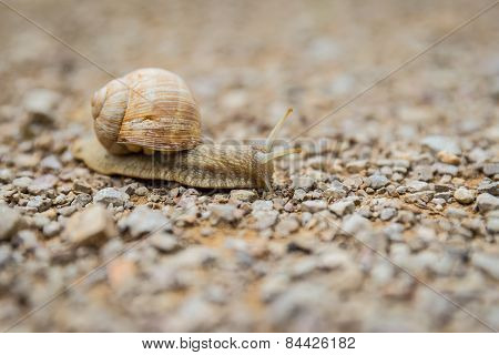 Land Snail Creeping Across A Pebble Surface