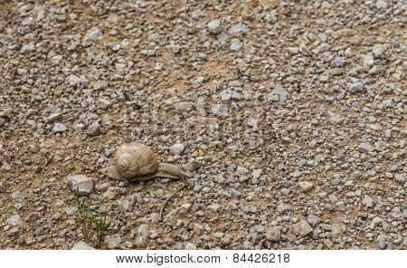 Land Snail Gliding Across A Pebble Surface