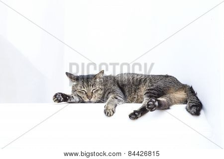 Sleepy Grey Tabby Cat