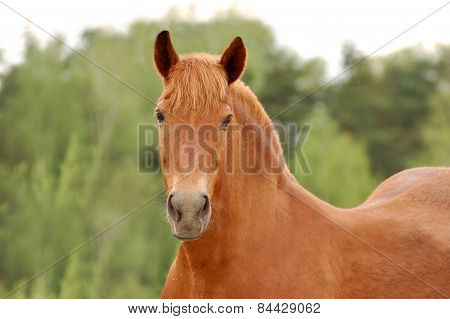 Outdoor Portrait Of A Draft Horse