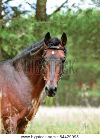 Bay Horse Portrait On Green Forest Background, Outdoor
