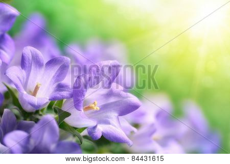 Campanula Bells In Beautiful Sunshine