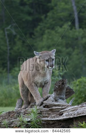 Mountain Lion Walking along Fallen Tree