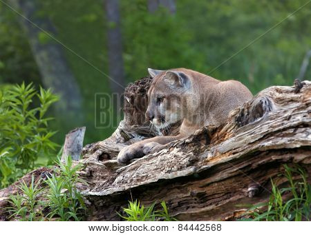 Mountain Lion Resting on Log