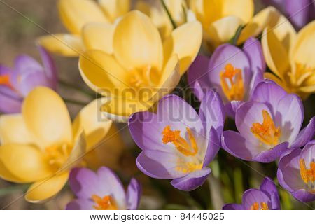 The Purple And Yellow Crocus Flowers