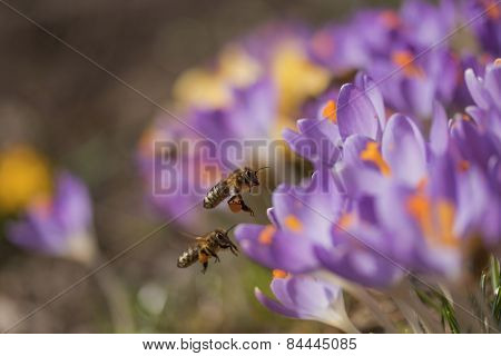 Pair Of Bees To A Flower Violet Crocus