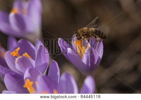 Closeup View Of Honeybee To A Crocus Flower