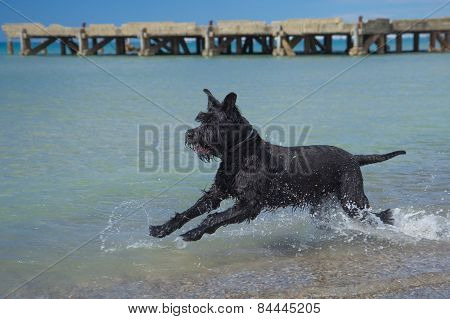Big Black Schnauzer Dog In The Sea.