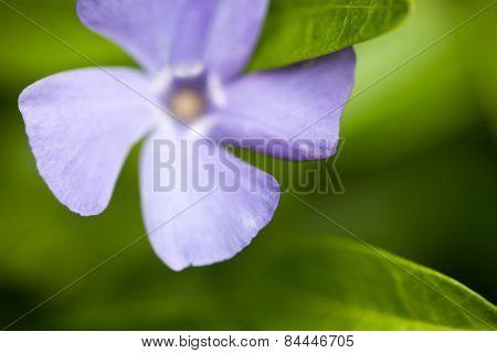 Blue Vinca Flower