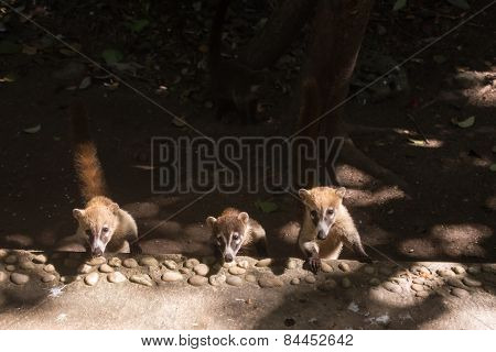 Coati Cubs Looking With Caution. Yucatan, Mexico Jungle.