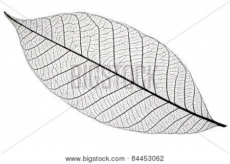 Silhouette Of Cherry Leaf, Isolated On White Background