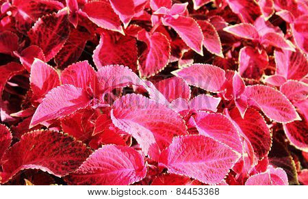 Red Flovers