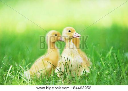 Three Fluffy Ducklings