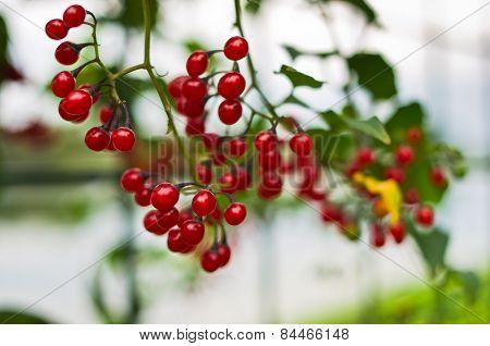 Closeup of red berries near Ada lake in Belgrade