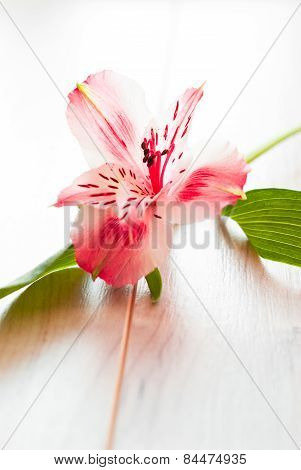 Alstroemeria on white.