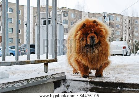 Chow Chow Dog Dina On White Snow