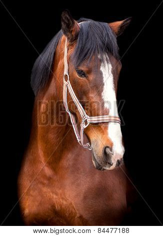 portrait bay horse on a black background