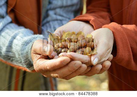 Brown Acorns in the hands