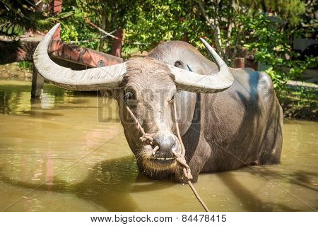 Big domestic water buffalo