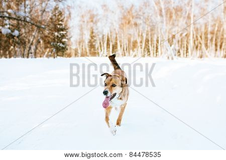 Running dog in winter. Walking in a winter forest.