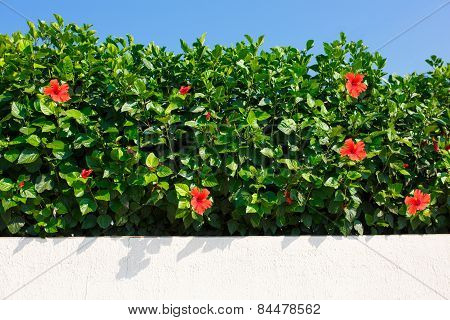 Bush green hedge wir red hibiscus flowers.