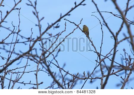 Greenfinch On Bare Tree