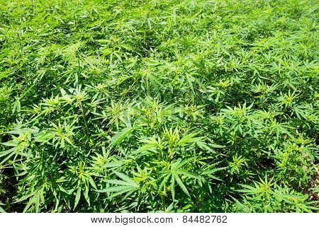 Field Of Green Marijuana (hemp)