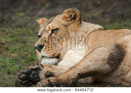 resting Barbary lioness