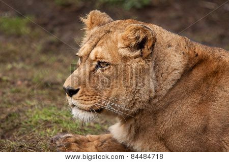 photo portrait of a Barbary lioness