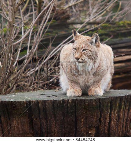northern lynx resting