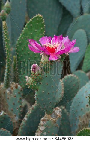 Hot pink cactus flowers closeup