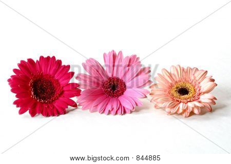 Three Gerberas
