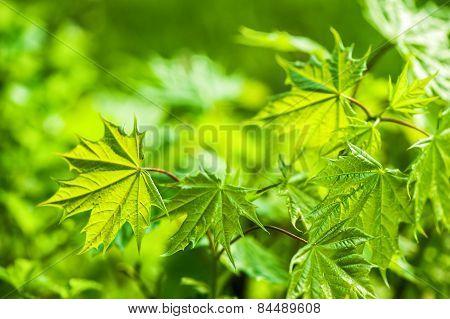 Defocus view spring green leaves
