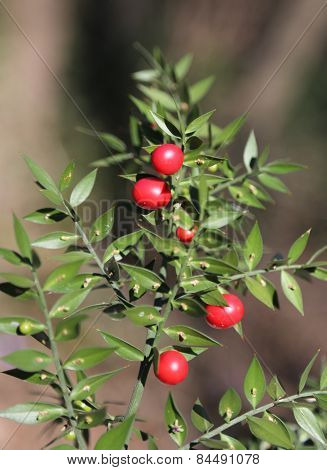 Red Holly Berries And Spiny Leaves