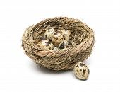 picture of nest-egg  - quail eggs in a nest close up isolated on white background - JPG