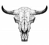 pic of cow skeleton  - Bull  - JPG