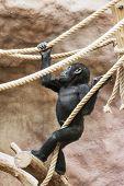 foto of lowlands  - Young Western lowland gorilla  - JPG