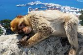 picture of gibraltar  - Barbary Ape  - JPG